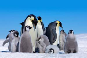 Императорские пингвины могут полностью исчезнуть к 2100 году