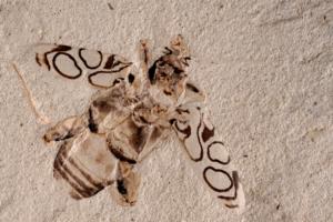 Ископаемого жука возрастом 49 млн лет назвали в честь Дэвида Аттенборо