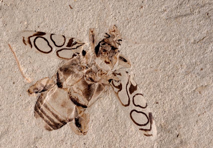 Ископаемого жука возрастом 49 млн лет назвали в честь Дэвида Аттенборо.Вокруг Света. Украина
