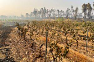 Во Франции в результате пожаров подорожает вино