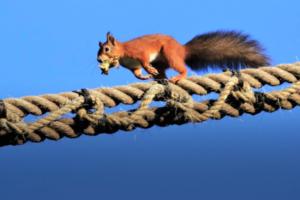 В Англии веревочный мост спасает белок, собирающих фундук: видео