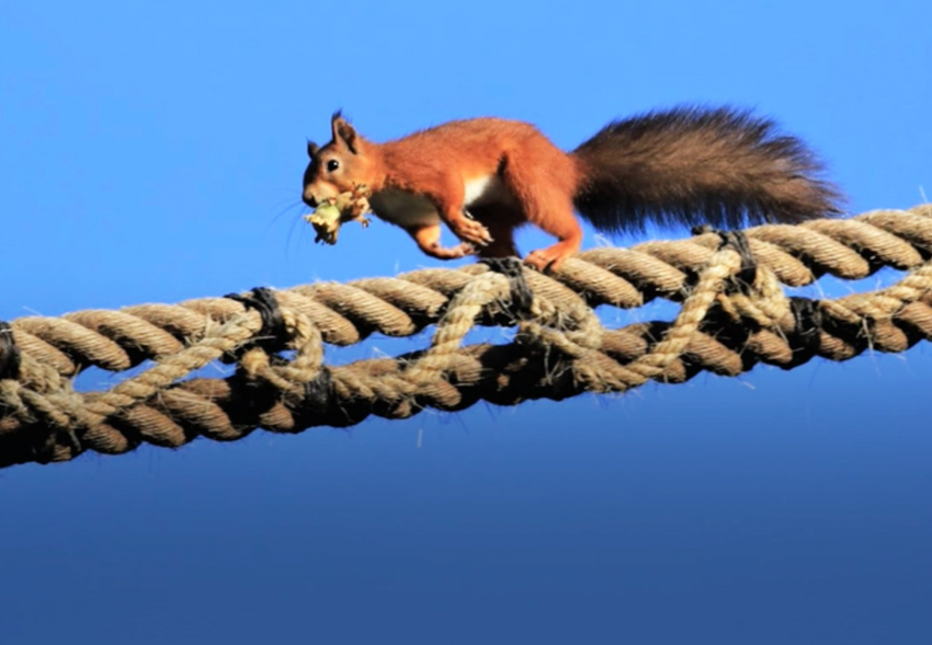В Англии веревочный мост спасает белок, собирающих фундук: видео.Вокруг Света. Украина