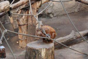Некоторые орангутаны могут пользоваться молотком, но детям эти навыки не передадут