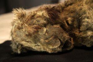 О чем рассказали мумии пещерных львят из вечной мерзлоты