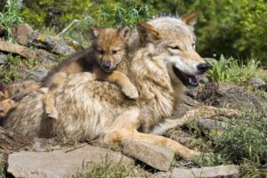 В США массово отстреливают волков вопреки протестам экологов