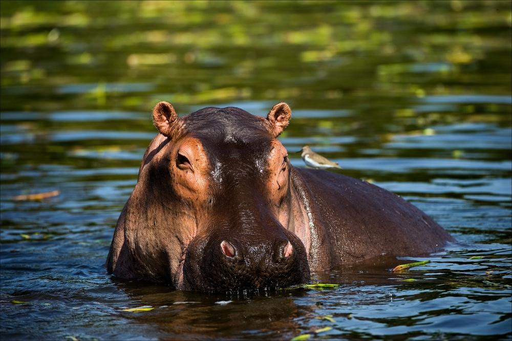 Самый опасный зверь в Африке: бегемоты - уже не травоядные