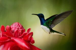 Самки колибри притворились самцами, чтобы не драться за еду