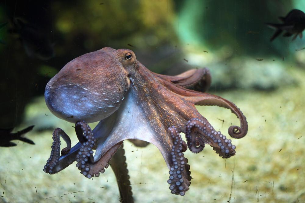 Осьминоги могут бросаться друг в друга предметами