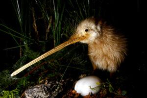 В Новой Зеландии стало больше киви