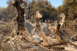 В Греции сгорела олива, посаженная до нашей эры