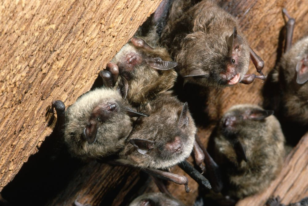 Молодые летучие мыши учатся общению, повторяя звуки за родителями
