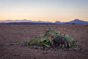 Вельвичия: растение, которое не может умереть