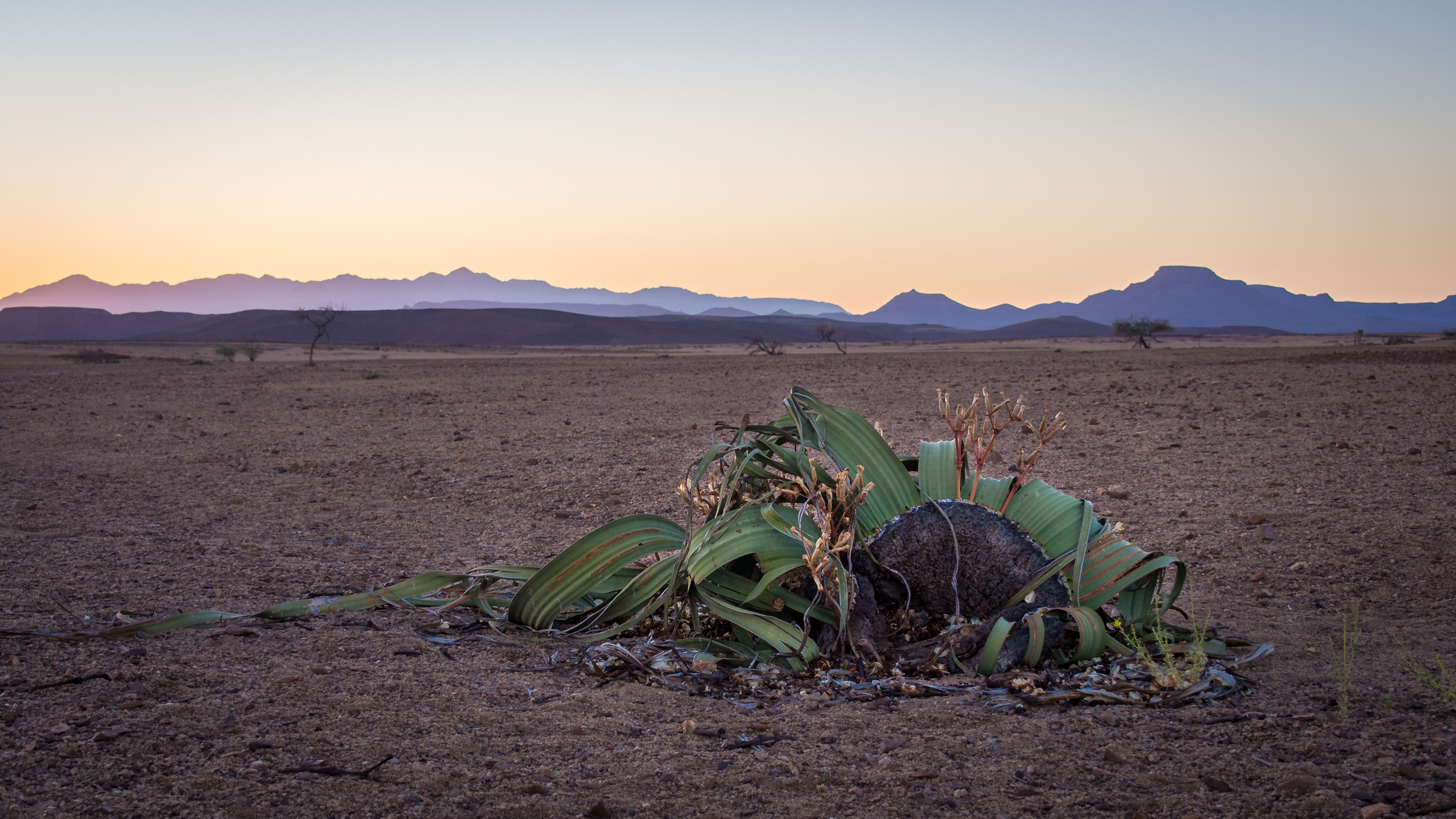 Вельвичия: растение, которое не может умереть.Вокруг Света. Украина