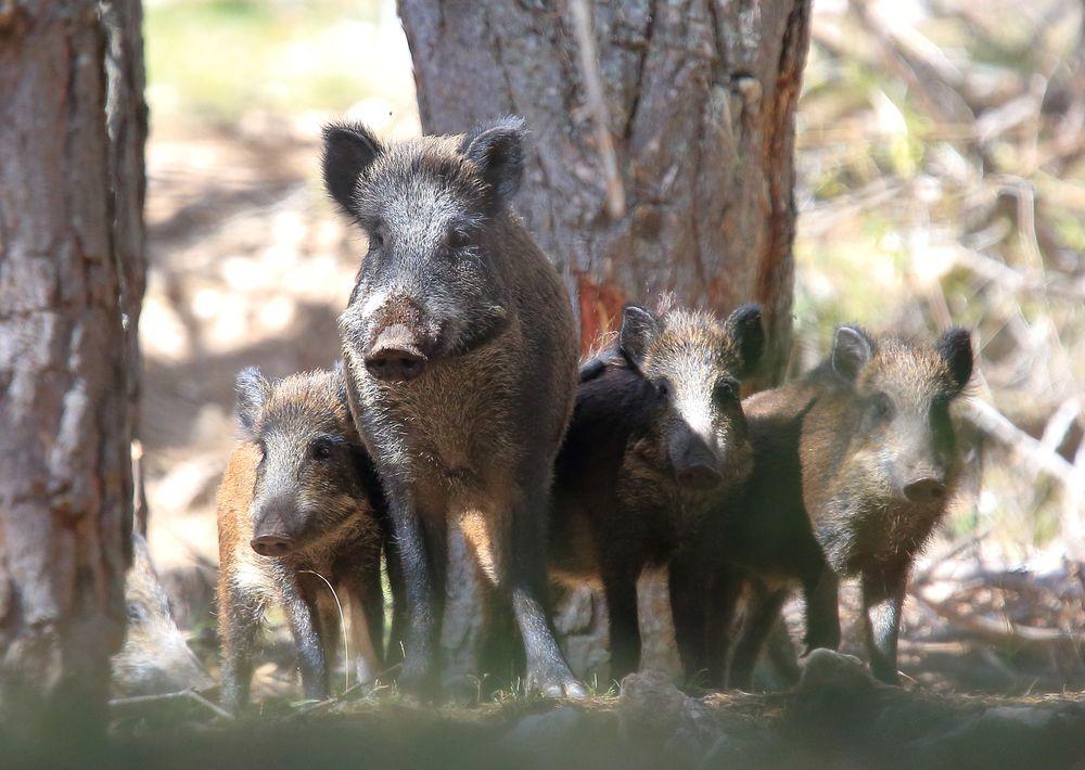 Дикие кабаны спасают сородичей из ловушки: редкие фото