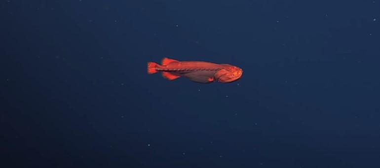 У побережья Калифорнии заметили неуловимую рыбу-оборотня.Вокруг Света. Украина