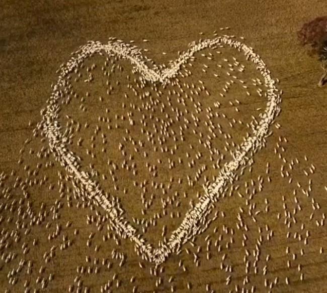 Австралийский фермер сделал гигантское сердце из овец