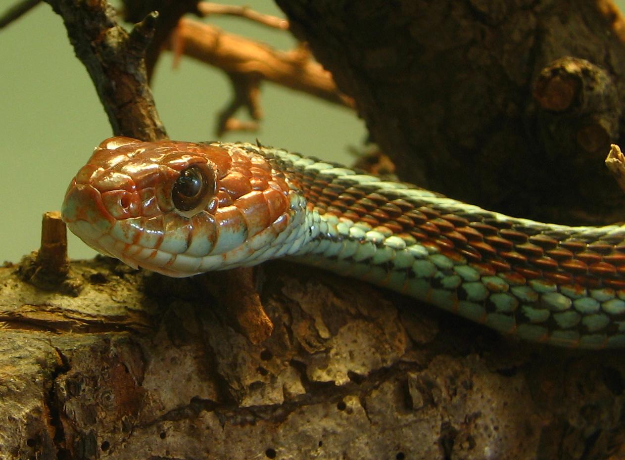 Аэропорт Сан-Франциско спас колонию редких змей.Вокруг Света. Украина