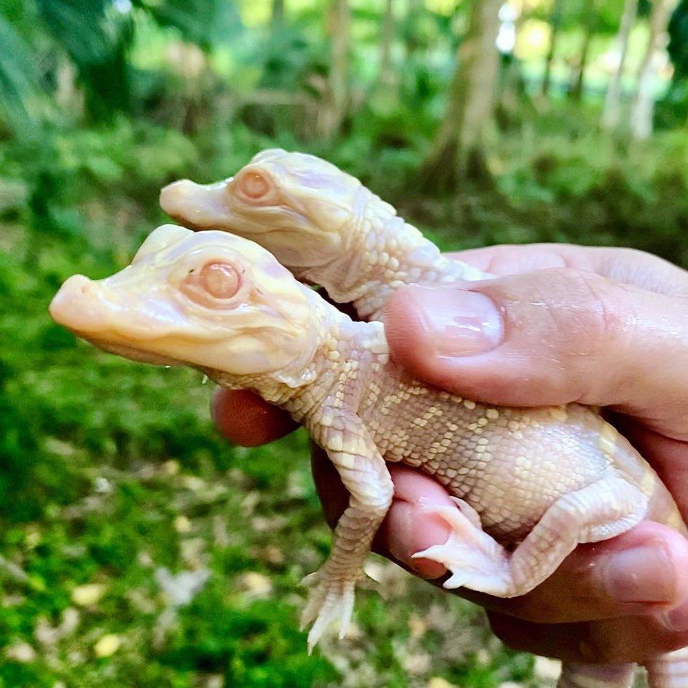 В зоопарке Флориды родились белые аллигаторы-близнецы.Вокруг Света. Украина