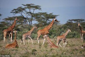Бабушка знает лучше! Пожилые самки жирафов заботятся о внуках