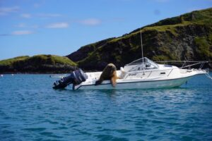Пират Уолли: история моржа, который за полгода потопил десяток лодок от Ирландии до Испании