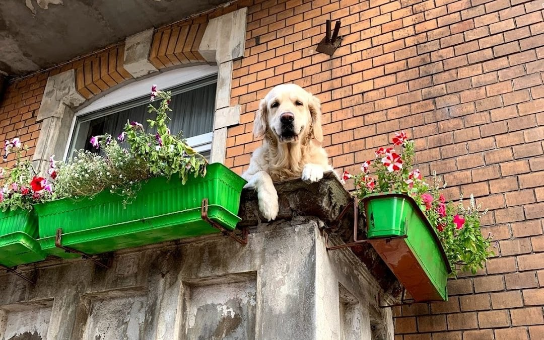 Пес на балконе в Гданьске стал популярной достопримечательностью.Вокруг Света. Украина