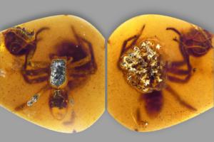 Паучихи с потомством попались в ловушку янтаря 99 млн лет назад