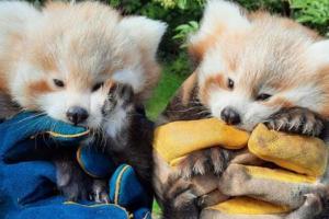Близняшкам красной панды с острова Мэн выбрали имена
