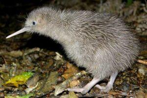 В Новой Зеландии открыли новый вид древних киви