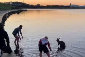 Как трое австралийцев вытаскивали кенгуру из озера: забавное видео