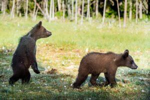 У медведей в Скандинавии обнаружились инфекции, устойчивые к антибиотикам