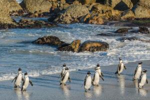 В ЮАР пчелы до смерти закусали десятки редких пингвинов