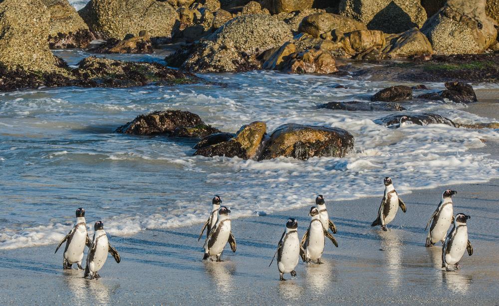 В ЮАР пчелы до смерти закусали десятки редких пингвинов.Вокруг Света. Украина