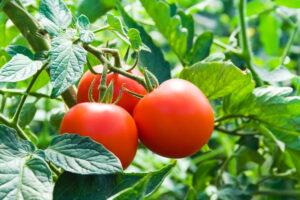 В Японии продают помидоры для лечения гипертонии