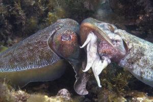 Кальмары-самцы обустраивают дом для беременных подруг