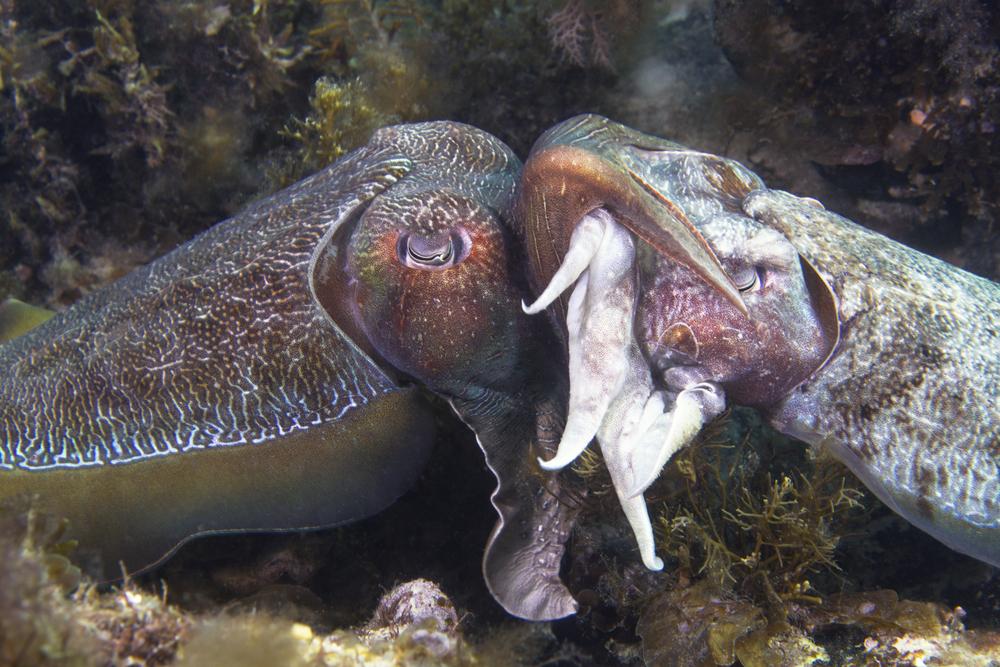 Кальмары-самцы обустраивают дом для беременных подруг.Вокруг Света. Украина