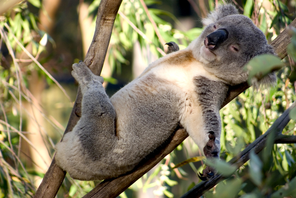 За три года популяция коал в Австралии сократилась на треть