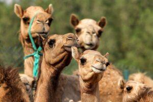В ОАЭ клонируют самых красивых верблюдов