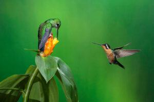 Еду и опасность колибри распознают по запаху: исследование