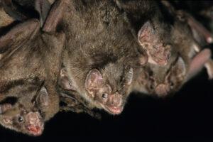 Летучие мыши-вампиры предпочитают охотиться в компании близких