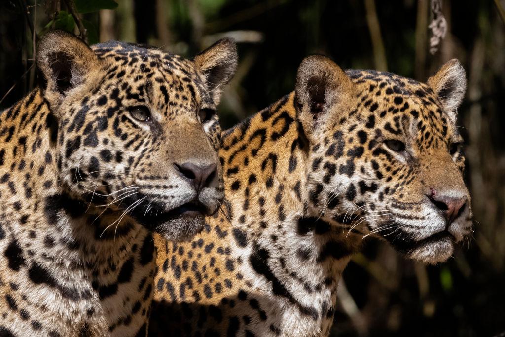 Группа в пятнистых купальниках: 10 интересных фактов о ягуарах
