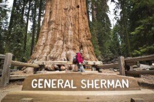 Пожары в Калифорнии: самое большое дерево в мире укутали специальным одеялом