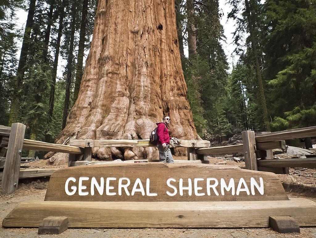 Пожары в Калифорнии: самое большое дерево в мире укутали специальным одеялом.Вокруг Света. Украина