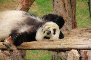 Панды в дикой природе становятся чайлдфри