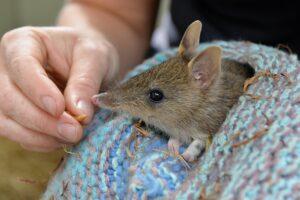 В Австралии сумчатых барсуков спасли от вымирания