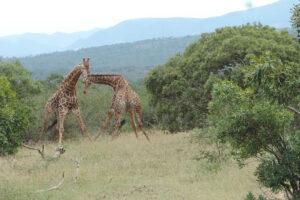 Честный бой: биологи выяснили, что в драках жирафы придерживаются строгих правил