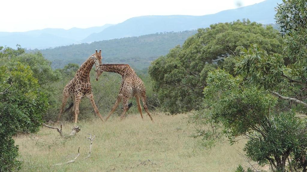 Честный бой: биологи выяснили, что в драках жирафы придерживаются строгих правил.Вокруг Света. Украина
