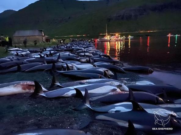 На Фарерских островах произошло крупнейшее в истории истребление дельфинов