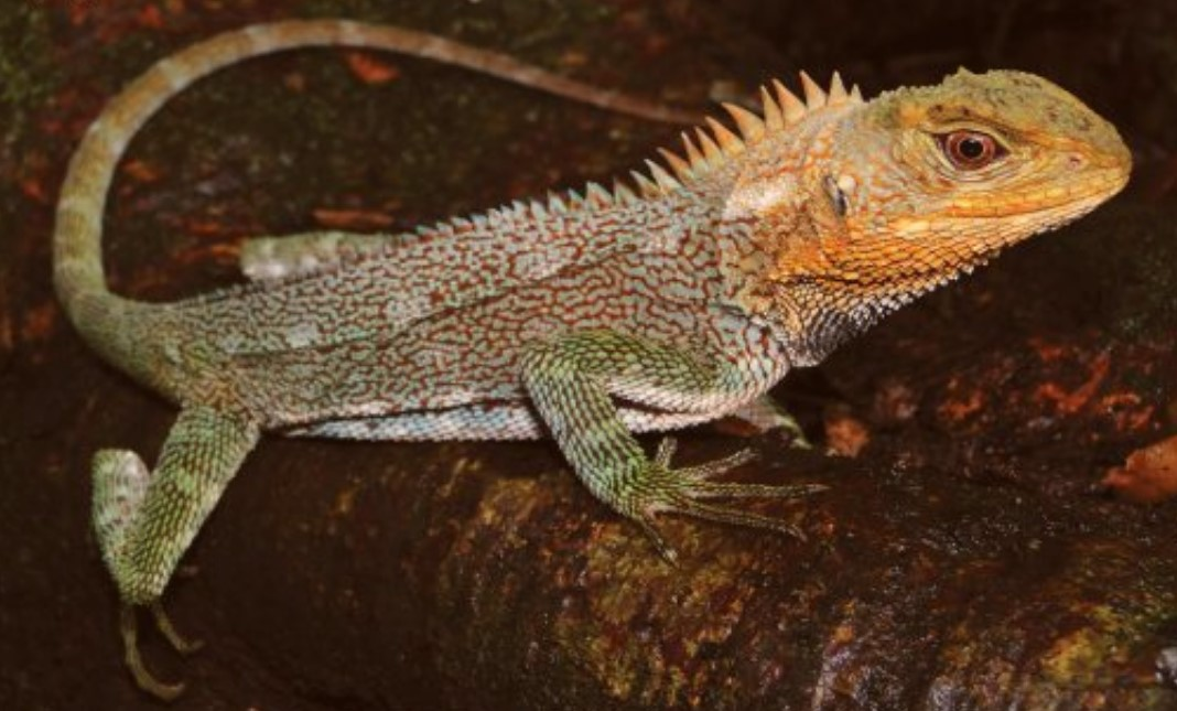 В Перу нашли новый вид ящериц, похожих на драконов.Вокруг Света. Украина