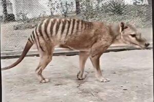 В Австралии показали цветное видео с вымершим тасманийским тигром