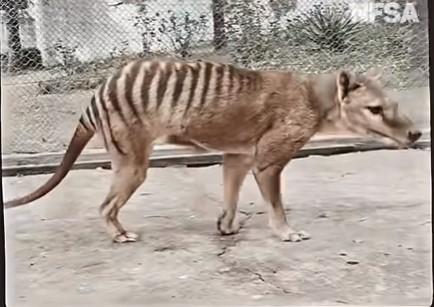 В Австралии показали цветное видео с вымершим тасманийским тигром.Вокруг Света. Украина